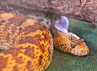 Bull snake (Pituophis catenifer sayi ), News Mexico.