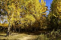 Trees with golden yellow foliage in autumn. Bitsevski Park (Bitsa Park), Moscow, Russia.