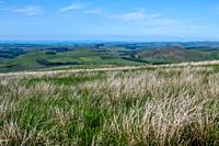 The rolling green hills of the Scottish countryside are teeming with grasses and other flora, Carter Bar, Scotland.