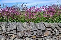 Colorful purple flowers line the top of a weathered stone wall, Carter Bar, Scotland.