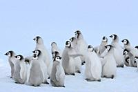 Emperor penguins, Aptenodytes forsteri, Group of Chicks, Snow Hill Island, Antartic Peninsula, Antarctica.