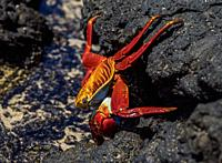 Sally Lightfoot Crab (Grapsus grapsus), Sullivan Bay, Santiago or James Island, Galapagos, Ecuador.