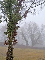 Misty winter morning with Huge creeper, Common Ivy (Hedera helix) covering a Oak tree (Quercus robur). Lluçanès region, Barcelona province, Catalonia,...