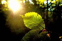 beech leaf in back light.