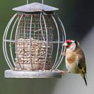 A Goldfinch (Carduelis carduelis) in a Norfolk garden.