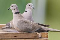 A pair of Collared Doves (Streptopelia decaocto) in the uk.