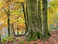 Beech trees in autumn in Strid Wood at Bolton Abbey Yorkshire Dales England.
