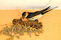 Red-rumped Swallow (Cecropis daurica) building its mud nest. Badajoz province. Extremadura. Spain