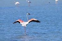 Greater flamingo (Phoenicopterus ruber) Doñana Natural Park. Salinas de Bonanza. Sanlúcar de Barrameda. Cádiz province. Andalusia. Spain