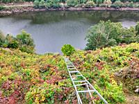 ´Mencía´ variety vineyards in autumn, and Belesar in background, Chantada municipality, Ribeira Sacra, Lugo, Spain