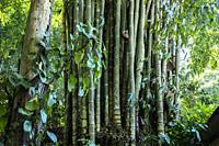 Huge bamboos at Hmong's Hilltribe Village, Doi Pui, Chiang Mai, Thailand