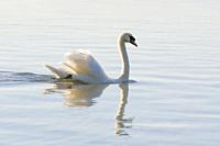 Mute Swan, Cygnus olor, Switzerland.