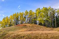 Fall Aspen on a Hill above Bow Valley Parkway Banff National Park Banff Alberta Canada.