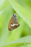 Pearly Heath, Coenonympha arcania. Butterfly flight is June-August. Habitat: light forests, nutient poor grasslands, damp clearings. Host plants: Brac...