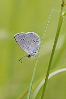Small Blue, Cupido minimus. Sexual dimorphism. Male has blue upper wings and female is brown. Wingspan: 16-27mm. Silvery underwing with black eyespots...