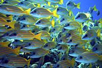 School of Bluestripe Snapper (Lutjanus kasmira), Indian Ocean, Maldives, South Asia.