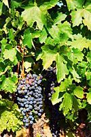 Grapes ripen on a vine.