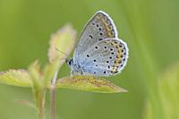 Idas Blue, Plebejus idas on blackberry bramble.