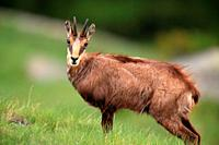 Chamois (Rupicapra rupicapra) in the National Park Gran Paradiso. Italy. .