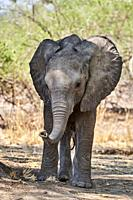 Curious African elephant calf (Loxodonta africana) with trunk raised to scent the photographer, South Luangwa National Park, Zambia.