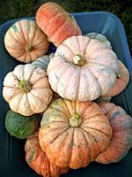 Varied pumpkins.