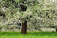 Apple tree in blossom close up, springtime. Baden-Württemberg, Lake Constance Region, Germany.