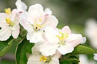 Blossom of a apple tree. Lake Constance region, Baden-Württemberg (Baden-Wuerttemberg), Germany, Europe.