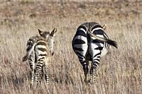 Cape mountain zebras (Equus zebra zebra), adult with zebra foal walking in open grassland, Mountain Zebra National Park, Eastern Cape, South Africa, A...