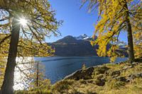 Lake Silsersee with colorful larch trees and sun in autumn, Lake Silsersee, Sils im Engadin, Engadin, Grisons, Switzerland, European Alps.