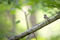 Red-breasted Flycatcher (Ficedula parva) calling from branch. Latvia.