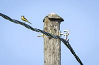 Western Yellow Wagtail (Motacilla flava) with food in its bill standing on a wire. Latvia.