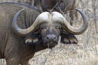 Cape buffalo (Syncerus caffer), adult male, standing among shrubs, alert, Kruger National Park, South Africa, Africa.