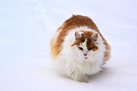 Portrait of a long haired orange and white cat in the snow.