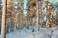 Snow-clad trees in a softwood forest on a cold winter day