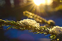Close up of snowflakes resting on a spruce twig