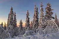 Winter landscape at sunset with nice color in the sky and snowy trees, Gällivare county, Swedish Lapland, Sweden.