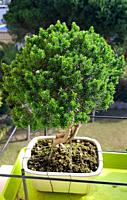 Breath of Heaven, Coleonema or Cape May bonsai tree, because of their fragrance when the leaves are crushed. Shaped Coleonema bonsai- El Maresme. Cata...