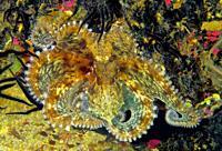 Juvenile common octopus (Octopus vulgaris). Eastern Atlantic. Galicia. Spain. Europe.