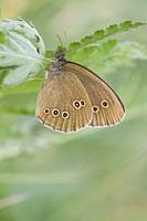 Ringlet, Aphantopus hyperantus Dusky brown butterfly with five eyespots on hind wing. Size: 35-42cm. Host plants are grasses: Poa, Festuca, Carex, Phl...