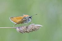 Small Skipper, Thymelicus sylvestris. Small orangish skipper. Antennae tips are black distinguishing it fromm Essex Skipper which has orange antennae ...