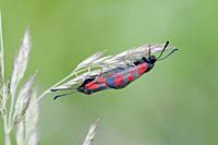 Slender Scotch Burnet, Zygaena loti. Blackish moth with red spots. Wingspan 25-35mm. Flight: June-August. Day-flying moth that inhabits dry scrubland,...