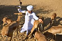 India, Rajasthan, Jodhpur region, Bishnoi devotee feeding wild Chinkaras (Indian gazelles). . Bishnoi farmers are supposed to give 10 % of their crops...