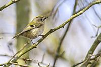 A goldcrest on a branch is searching for fodder.