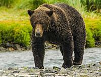 Female Grizzly Walking Along Stream Katmai National Park Alaska.