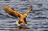 White-tailed sea eagle (Haliaeetus albicilla) in flight, hunting and grabbing for fish, Flatanger, Norway.