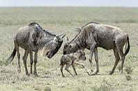 Blue Wildebeest (Connochaetes taurinus) mother and sister with a new born baby just trying to stand, Ngorongoro conservation area, Tanzania.