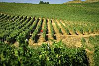 Pagos de uriaz vineyard. Olite. Navarre. Spain.