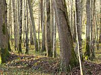 forest near Serignac-Peboudou, Lot-et-Garonne Department, New Aquitaine, France.