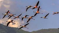 Lessre flamingos in flight over lake Bogoria, Kenya.