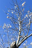 Almond trees in bloom in Cadalso de los Vidrios. Madrid. Spain. Europe.